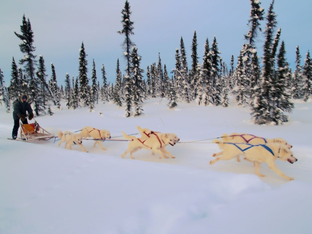 white_huskies_dog_sledding