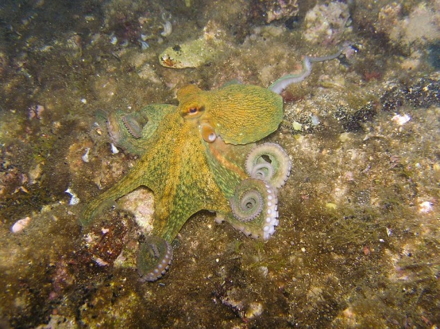 octopus-230009_960_720